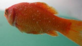 金魚の白点病治療