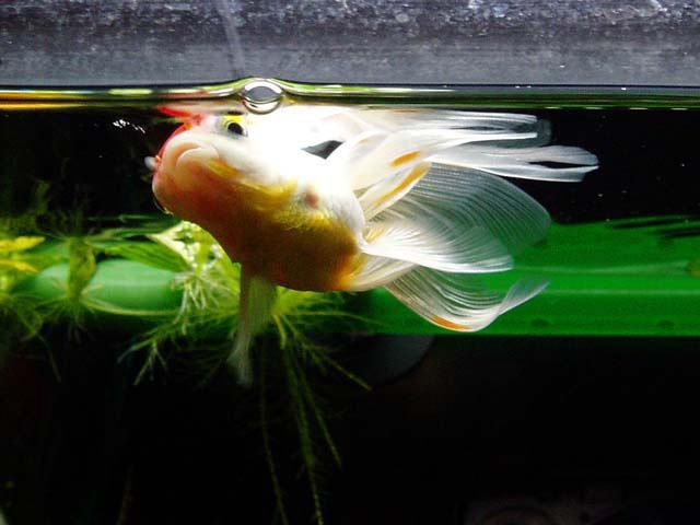浮く 金魚 逆さま