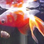 金魚が逆さまになって水面近くを泳いでいる!深刻な病気?治療法は?
